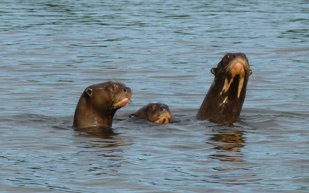 O Parque Estadual do Cantão é responsável pela proteção de boa parte da população de ariranhas encontradas no Estado.