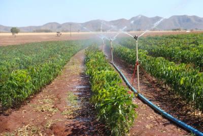 Plantio de Seringueira