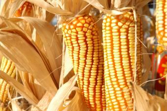 Devem ser produzidas na próxima safra 679,2 mil toneladas de milho