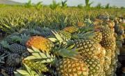 Os agricultores familiares cultivam cerca de 35 milhões de frutos, em 1.400 hectares