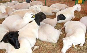 Outro setor que vai receber atenção especial do Governo é o de rebanho de ovino