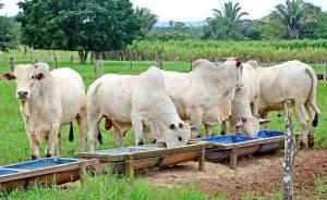 Atualmente, o Estado possui 8.075.517 cabeças de gado e ocupa a 11ª posição no ranking nacional do rebanho