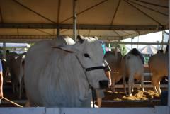 É obrigatório vacinar não só os animais que irão participar do evento, mas todos os bovídeos da propriedade rural