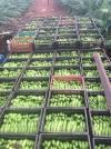 O projeto tem se destacado muito, principalmente na produção de bananas, que deve chegar a 3.200 toneladas nesta safra