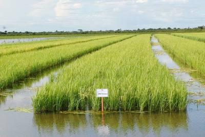 Nas várzeas são utilizados os sistemas de irrigação por inundação e subirrigação