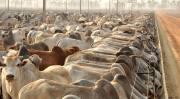 O Tocantins ocupa a 7ª posição no ranking nacional de bovinos em confinamentos, com aproximadamente 150 mil animais