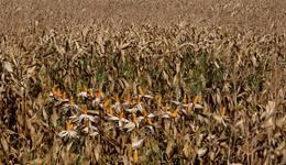O milho vem em segundo lugar, com estimativa de aumento de produção de mais de 13,6% com relação à safra 2013/2014