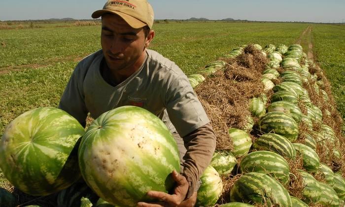 mais de19 mil quilos de melancias serão entregues, nesta segunda-feira, 31, a 10 aldeias da etnia Apinajé