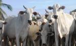 Tocantins espera vacinar mais de 90% das bovídeas entre 3 e 8 meses de idade
