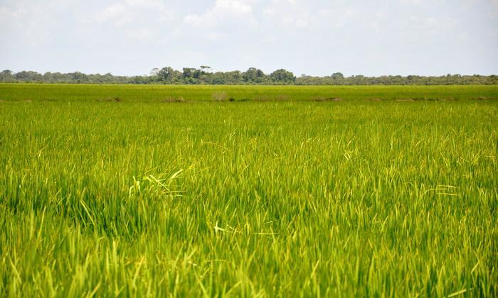 O objetivo do evento é repassar aos produtores as técnicas de manejo das principais doenças do arroz