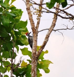 Área preservada é habitat natural de aves como o picapau