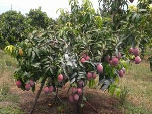 Produtores usam técnicas de indução de floração para ofertar a fruta na entressafra, quando há demanda aumenta e os preços melhoram para o agricultor