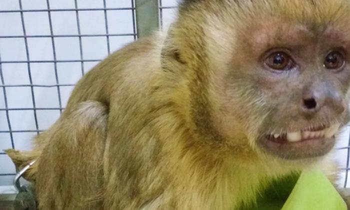 Macaco-prego