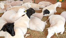 Governo promove dia de campo sobre ovinocultura