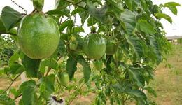 Maracujá Gigante Amarelo é uma das variedades mais cultivadas no Tocantins por se adaptar ao clima e solo da região