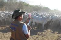 As equipes percorrerão 335 retiros cadastrados para vacinar mais de 90 mil bovídeos, incluindo o rebanho de indígenas e produtores rurais