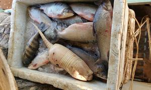 Entre os peixes apreendidos, foi encontrado um tatu, animal silvestre da fauna brasileira