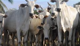 Divulgação rebanho bovino - Lenito Abreu_260x150.jpg