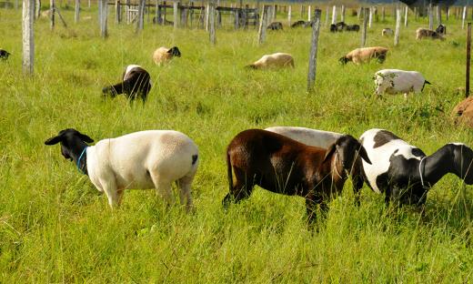Governo e instituições parceiras formalizam a Câmara Setorial da Ovinocultura