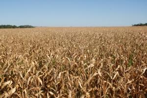 Já o milho tem expectativa de plantar 174 mil hectares e colher mais de 833 mil toneladas