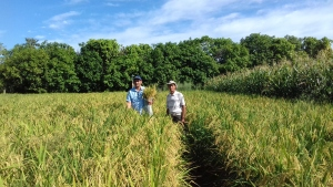As variedades de arroz BRS Esmeralda e Cambará serão um dos destaques das vitrines tecnológicas