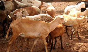 Rebanho tocantinense de ovinos e caprinos é de aproximadamente 135 mil cabeças