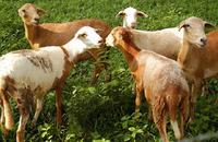 Ação visa realizar o diagnóstico da cadeia produtiva de ovinos e caprinos no Estado
