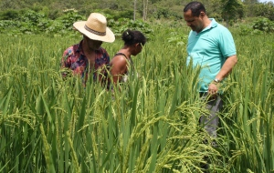 Unidade Demonstrativa de arroz, comunidade quilombola Redenção, em Natividade