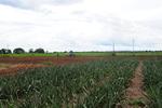 Numa área de 10 mil metros quadrados foram plantados vitrines de abacaxi, banana, maracujá e mamão