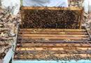 Nesta terça-feira, 25, acontece o primeiro ciclo de palestras sobre a importância e preservação das abelhas no auditório da UFT, Palmas