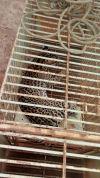 Animal enjaulado após ser  atropelado em Divinópolis_100.jpg