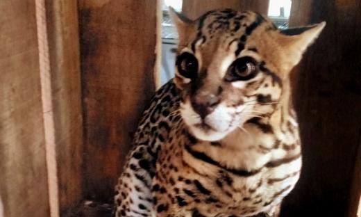 Naturatins encaminha jaguatirica atropelada para Centro de Triagem em Araguaina