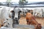 O curso é direcionado a pessoas interessadas no uso da tecnologia de inseminação artificial em bovinos