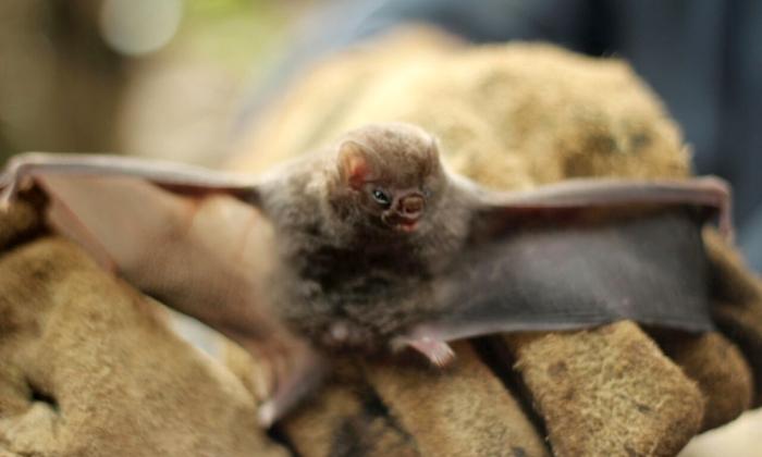 O morcego hematófago é o principal vetor transmissor da raiva rural e alvo das equipes de controle da Defesa Agropecuária do Tocantins