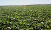 Produtores de soja em várzeas tropicais devem fazer a aplicação obrigatória de fungicida, além de comunicar a Adapec sobre aparecimento da ferrugem