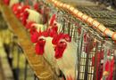 Palestrante vê boas perspectivas para o desenvolvimento da avicultura e suinocultura no Tocantins