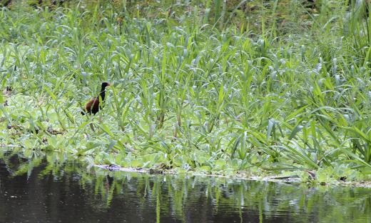 Parque Estadual do Cantão abriga 325 espécies de aves, 299 espécies de peixes, botos, ariranhas, onças-pintadas, jacaré-açu, e vasta área de mata verde e de rios
