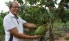 Com 200 pés de graviola, expectativa é colher 4 toneladas do fruto nesta safra