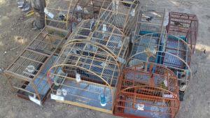 Pássaros eram criados de maneira ilegal