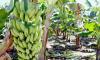 Um dos objetivos é ampliar os conhecimentos dos fruticultores do perímetro Manoel Alves, e também daqueles que desejam investir na produção de frutas