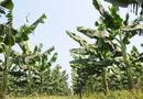 Atualmente a produtividade na cultura de banana no Manuel Alves é em média 30 toneladas por hectares