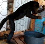Durante um ano e seis meses, a macaca permaneceu na casa de um casal, se alimentando com ração dos porcos e restos de alimentos