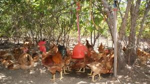 A avicultura no sistema de produção agroecológica adota práticas sustentáveis