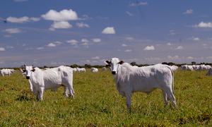 O Tocantins é um dos estados brasileiros com maior tradição na criação de bovinos de corte