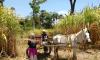 A demanda pelas rapaduras da agricultora Francisca Nunes de Sousa vem crescendo e, por isso, ela está ampliando a área de plantio da cana