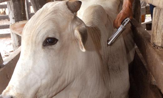 Nesta etapa, que ocorre entre os dias 1º e 30 de novembro, devem ser vacinados cerca de 4 milhões de bovinos e bubalinos, entre 0 e 24 meses de idade