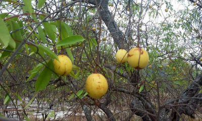 Boa fonte de vitamina C e ferro e com bom preço de mercado a  mangaba é uma ótima alternativa para o pequeno produtor rural