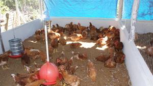 A granja do agricultor, Antônio Silvestre, comporta 500 aves