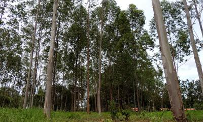 Floresta plantada de eucalipto, um grande potencial para a produção de agroenergia