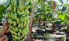 O dia de campo sobre a banana irrigada será realizado na Fazenda Paraíso, município de Cariri